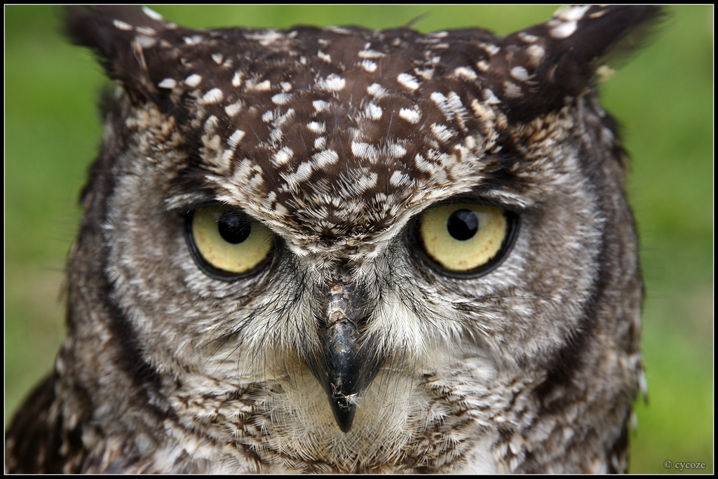 spotted_eagle_owl_by_cycoze-d663xi5